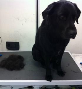 Ollie the black labrador